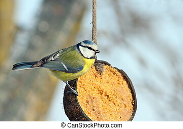 blue tit on coconut lard feeder