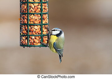 blue tit on garden bird feeder