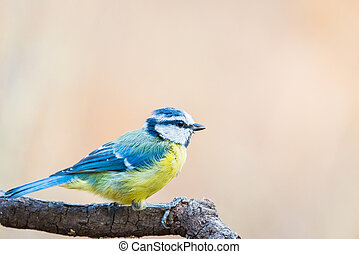 Blue Tit or herrerillo comun perched on a branch, Cyanistes caeruleus
