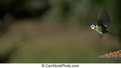 Blue Tit, parus caeruleus, Adult in Flight, Normandy, Slow...