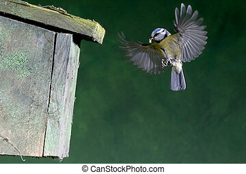 Blue tit, Parus caeruleus, single bird flying by nest box, Warwickshire, June 2013