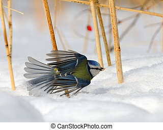 Blue Tit (Parus caeruleus, Cyanistes caeruleus) take-off in the snow