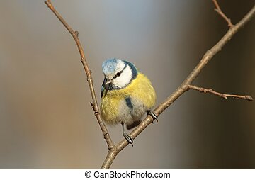Blue tit (Parus caeruleus) looking at other birds.