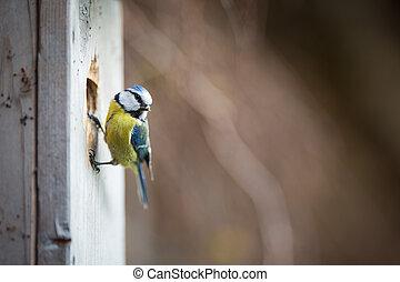 Blue tit Parus caeruleus on a bird house it inhabits