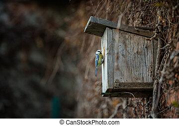 Blue tit Parus caeruleus on a bird house