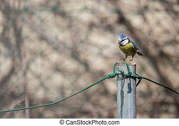 Blue tit Parus caeruleus on a bird house it inhabits - feeding the young