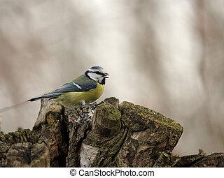 Blue Tit (Parus caeruleus) on a tree stump