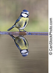 Blue tit, Parus caeruleus, single bird at water, Warwickshire, January 2014