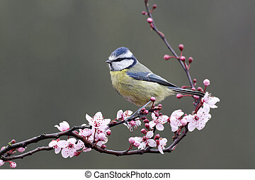 Blue tit, Parus caeruleus, single bird on blossom, Warwickshire, March 2012