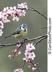 Blue tit, Parus caeruleus, single bird on blossom, Warwickshire, March 2012