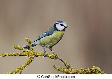 Blue tit, Parus caeruleus, single bird on yellow lichen...