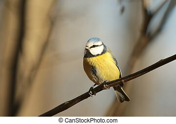 Blue tit (Parus caeruleus) sitting on a twig in the comfort of the forest.