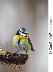 Blue Tit (Parus caeruleus) sitting on a twig in winter.