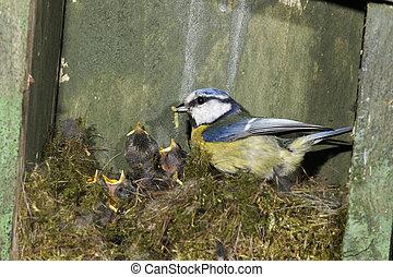 Blue tit, Parus caeruleus