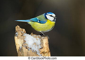 blue tit sitting on a tree trunk