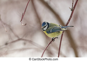 blue tit sitting on the branch
