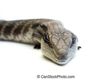 Blue Tongue Lizard #3