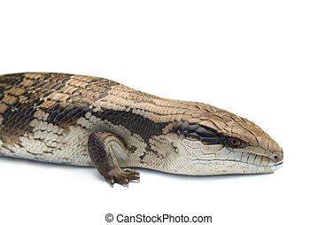 Blue Tongue Lizard #5