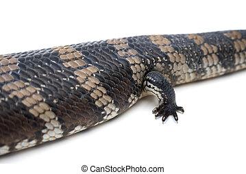 Blue Tongue Lizard foot
