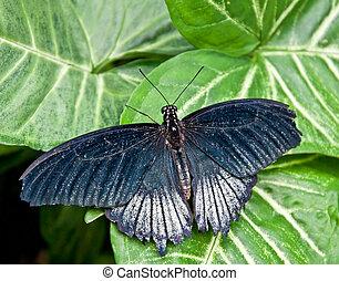 Blue Topped Butterfly - Male Scarlet Swallowtail