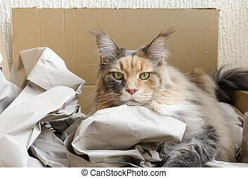 Blue tortie tabby with white Maine Coon cat laying in a Cardboard box