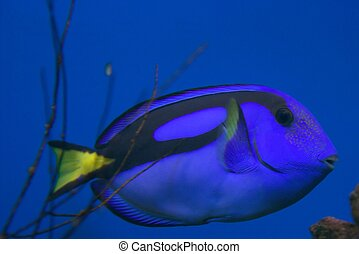 Blue Tropical Fish