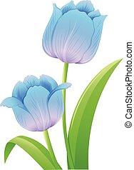 Blue tulips on white background