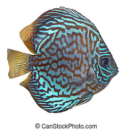 Blue turquoise discus over white background