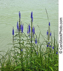Blue Veronica spicata flowers on the bank of the river