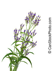 Blue eryngium wildflower  Blue sea holly erngium flower