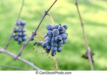 Blue vine grapes. Grapes for making ice wine. Detailed view of a frozen grape vines in a vineyard in autumn.