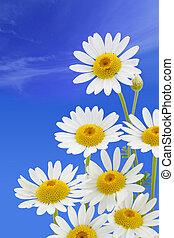 blue virág, ég, ellen, százszorszép