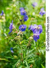 blue virág, közül, a, mező, közelkép
