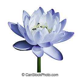 blue water lily - Blue water lily isolated on white ...