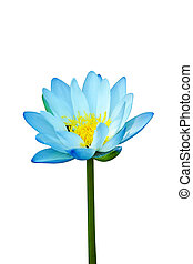 Blue water lily isolate on white background.