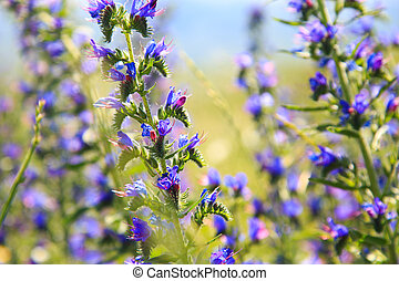 Blue wild flowers. Field with wild flowers. Natural background