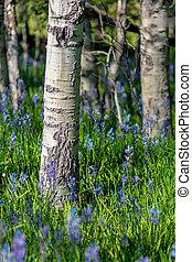 Aspen tree trunks and Camas lillies