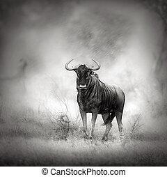 blue wildebeest, alatt, felhőszakadás