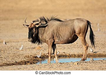 blue wildebeest, -ban, waterhole