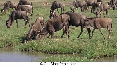 Blue Wildebeest, connochaetes taurinus, Herd during...