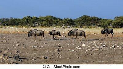 wild Blue Wildebeest Gnu in Etosha waterhole, Namibia Africa wildlife safari
