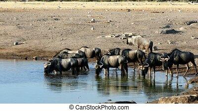 wild Blue Wildebeest Gnu drinking from waterhole in Etosha, Namibia Africa wildlife safari. African scenery in natural habitat