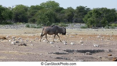 wild Blue Wildebeest Gnu go to the waterhole in Etosha, Namibia Africa wildlife safari. This is typical african scenery