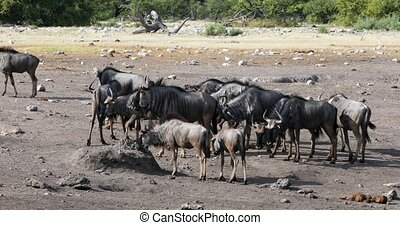 wild Blue Wildebeest Gnu go to the waterholle in Etosha, Namibia Africa wildlife safari. Typical african scenery.