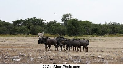 wild Blue Wildebeest Gnu go to the waterholle in Etosha, Namibia Africa wildlife safari. This is typical african scenery