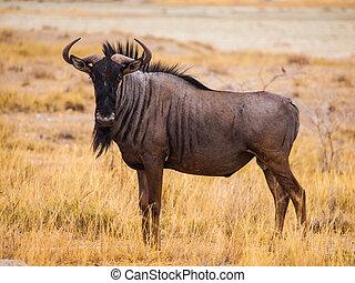 blue wildebeest, (gnu)