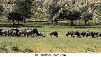 Blue Wildebeest in Kalahari, South Africa - herd of wild...