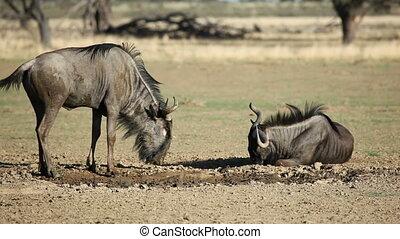 Blue wildebeest playing - Blue wildebeest (Connochaetes...