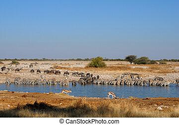 Blue Wildebeest, Zebra and Springbok drinking water at the Okaukeujo waterhole, Etosha National Park, Namibia