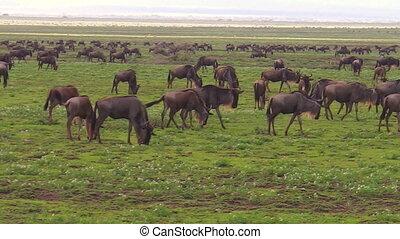 Blue wildebeests grazing